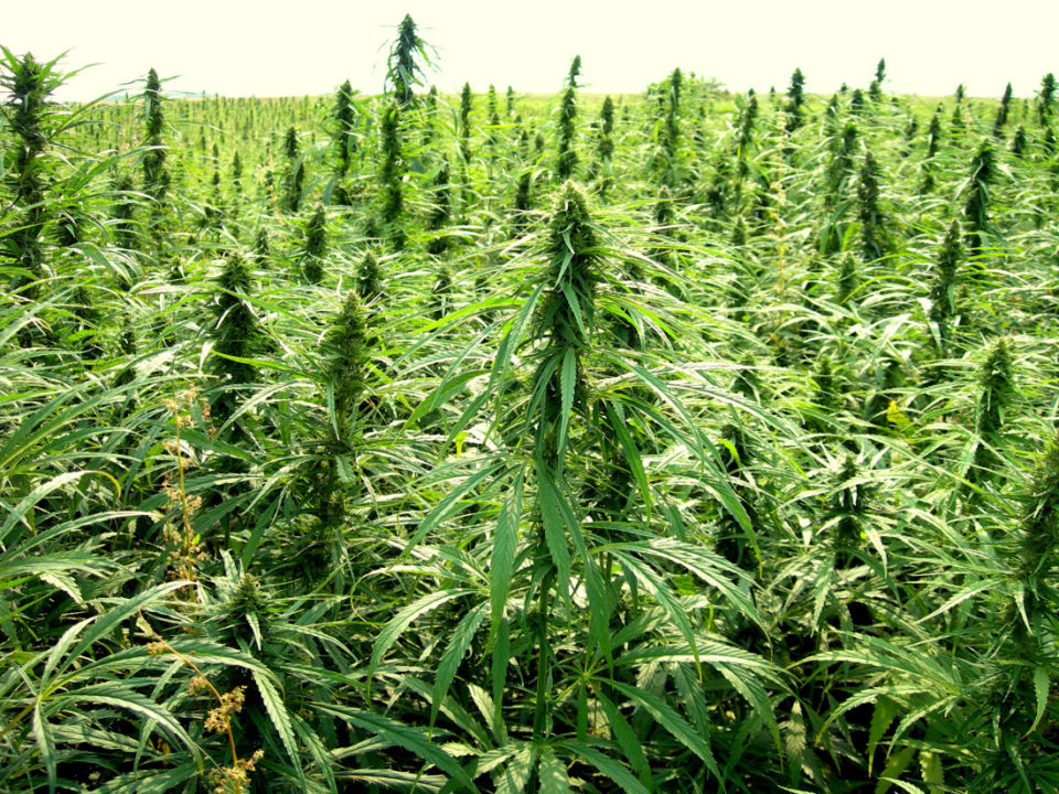 Harvesting, Processing Hemp May Be Expensive For New Farmers